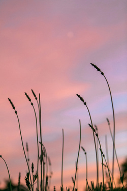 Lavender at Sunset - Photo by Yvette Roman