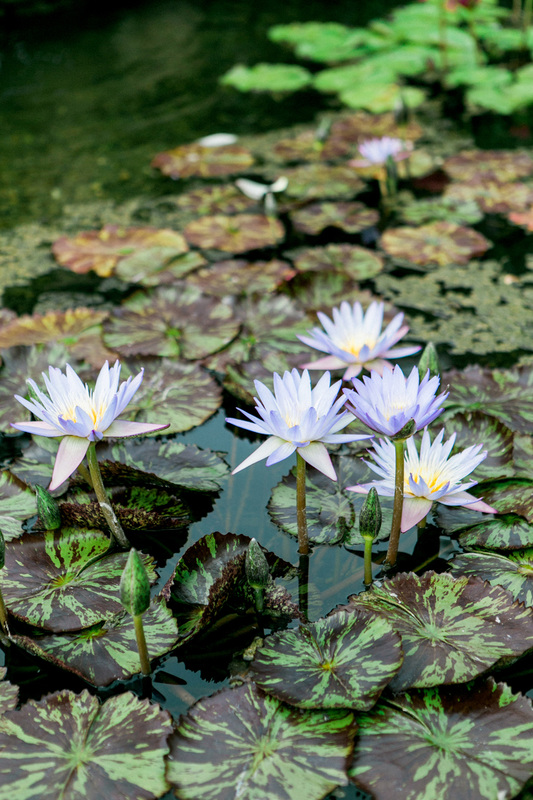 Lily Pad in Bloom at San Ysidro Ranch - Photo by Yvette Roman